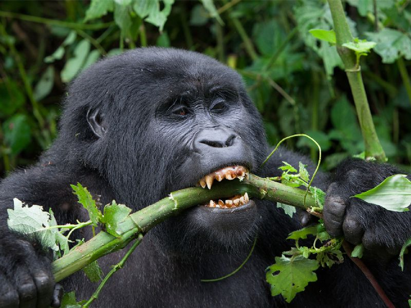 5 Days Budget Gorilla and Chimp trekking Uganda