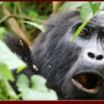 Budget Uganda Gorilla Trekking Safari Holiday Vacation